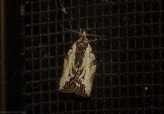 Tortricidae tbi : Epiphyas postvittana variant? (dustaway) Tags: arthropoda australia australianwildlife insecta lepidoptera australianinsects australianmoths tamborinemountain mounttamborine sequeensland queensland tortricidae nature