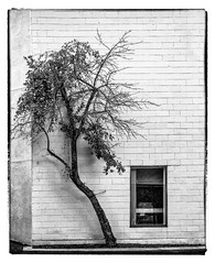 Attached (Timothy Valentine) Tags: 2018 blackandwhite window large tree wall silverefex 0818 norwood massachusetts unitedstates us