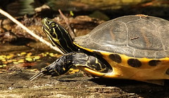 3S5X6493  Cooter (Eileen Fonferko) Tags: turtle cooter reptile nature wildlife animal