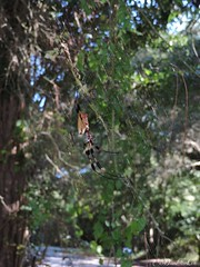 Golden Silk Orb Weaver (Male and Female) (Shuttrbuggn) Tags: golden silk orb weaver spider nephila clavipes arachnid bananaspider orbweaver