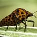 Bedbug Red