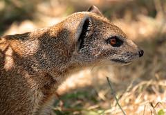 yellow mongoose Blijdorp JN6A9262 (j.a.kok) Tags: mangoest mongoose yellowmongoose vosmangoest mammal animal blijdorp zoogdier dier predator