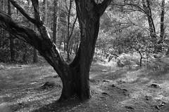 WO<Tree>ODS (Tony Tooth) Tags: nikon d7100 sigma 1750mm bw blackandwhite monochrome tree woods woodland danebridge staffs staffordshire staffordshiremoorlands