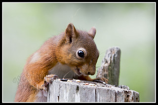 IMG_0067 Red Squirrel
