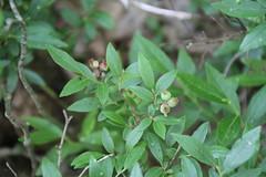 Lowbush Blueberry (Vaccinium angustifolium Aiton) 06-09-2018 Caroline W. Wilson MOS Sanctuary, Garrett Co. MD (Birder20714) Tags: plants maryland heaths ericaceae vaccinium angustifolium
