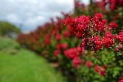 Receding Reds (brev99) Tags: sigma2414 shallowdof bokeh flowers d610 dxofilmpack5 red redflowers hedge philadelphia nikviveza nikdfine