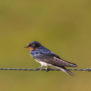 Swallow fledgling 2