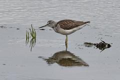 Greenshank. (stonefaction) Tags: greenshank balgove bay eden estuary st andrews fife birds nature wildlife scotland