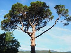 Pi - Prada de Conflent (tgrauros) Tags: prada pradadeconflent prades pine tree pii pino árbol arbre pi