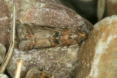 Sciota rhenella, la phycide du peuplier. (chug14) Tags: macro insecte unlimitedphotos animalia arthropoda hexapoda insecta lepidoptera pyralidae phycitinae phycitini phycidedupeuplier phycisrhenella sciotarhenella