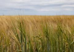 DSC_2963-01 (IainM7) Tags: barley ears