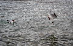 DSC_4505 (SanjaySinha2611) Tags: birds ladakh pangong lake gull