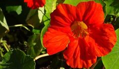 red-orange nasturtium (Martin LaBar (going on hiatus)) Tags: flower leaf nasturtium maine tropaeolum waterdrops dew tropaeolaceae