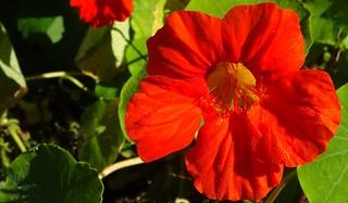 red-orange nasturtium