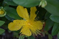 DSC_4973 (griecocathy) Tags: fleur millepertuis boutons feuille étamines pistil jaune vert macro