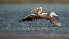 Beauty of The Nature (asifsherazi) Tags: greatwhitepelican lakenaivasha kenya asifsherazi wildlife bif