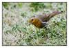 Pires (Steve Jelly) Tags: xt2 xf50140 robin birds