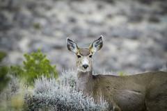 Canyonlands The Needles Mule Deer 02-23-2018 (Jerry's Wild Life) Tags: canyonlands canyonlandsnp canyonlandsnationalpark deer islandinthesky mule muledeer musselmanarch theneedles theneedlesarea theneedlesdistrict utah