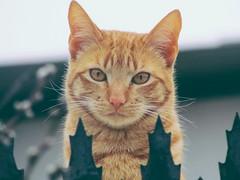gato rubio (volantindebolsa) Tags: cat gato chat neko katze gatte gatto felino feline