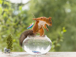 red squirrel runs with an fish on a fishing bowl