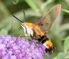 Snowberry Clearwing Moth (tresed47) Tags: 2018 201808aug 20180802chestercountymacro august canon7dmkii chestercounty content folder hummingbirdmoth insects macro moth pennsylvania peterscamera petersphotos places season snowberryclearwingmoth springtonmanor summer takenby technical us