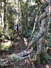 Mt Mathieson walk: forest (NettyA) Tags: australia mainrangenationalpark mtmathieson qld queensland spicersgap bushwalk bushwalking hike hiking scenicrim seqld forest vines rainforest track trail bushwalkers