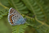 Silver-studded Blue (microwyred) Tags: events blackcolor nature preesheath lepidoptera greencolor animal small summer wildlife macro beautiful outdoors springtime beautyinnature butterflyinsect closeup fragility insect multicolored silverstuddedblue animalwing
