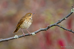 Hermit thrush poses (Earl Reinink) Tags: thrush bird animal wildlife nature branch trees woods outdoors outside posing earl reinink earlreinink hermitthrush ttdduudaoa