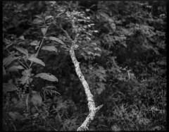fallen tree limb, lichen-covered, Community Park at Craggy Park, West Asheville, NC, Koni Omega Rapid 100, Arista.Edu 200, Ilford Ilfosol 3 developer, 6.21.18 (steve aimone) Tags: treelimb branch fallen lichen forest communityparkatcraggypark westasheville northcarolina koniomegarapid100 superomegon90mmf35 aristaedu200 ilfordilfosol3developer 6x7 120 120film mediumformat blackandwhite monochrome monochromatic landscape