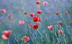 remembrance (Elahe Dastgheib) Tags: elahe mother love memory beauty poppy vallmo missyou