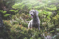 218/365 - Colin In Rothiemurchus Forest (Forty-9) Tags: photoaday eflens 2018 forty9 3652018 365 6thaugust2018 dog lochaneilein tomoskay scotland lightroom ef70200mmf28lisiiusm canon 06082017 eos60d project3652018 colin monday dogphotography project365 weimaraner august 218365 day218 rothiemurchusforest