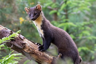Pine Marten , Scottish Highlands..