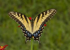 Eastern Tiger Swallowtail, female (Papilio glaucus) (AllHarts) Tags: femaleeasterntigerswallowtailpapilioglaucus shelbyfarmsparkpublicgardens memphistn challengeclubchampions naturesspirit thesunshinegroup butterflygallery
