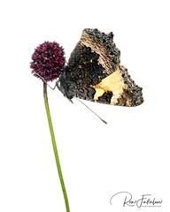 Small Tortoiseshell (Ron Fullelove) Tags: smalltortoiseshell aglaisurticae melanargiagalathea butterfly britishwildlife britishbutterflys macro ronfullelove flower summertime wildflowermeadows