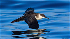 Great Shearwater (Ardenna gravis) (Steve Arena) Tags: bird birds birding pelagic minipelagic pelagicbirds chatham eastofchatham barn barnstablecounty massachusetts 2018 nikon d750 tubenose shearwater greatshearwater ardenna ardennagravis