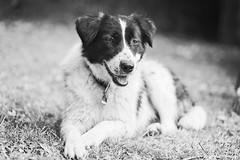 Angeliki (Sven Evertz) Tags: httpsdeutschgriechischertierschutzvereinde hunde mischlingshunde bw schwarzweiss sonya7iii sony8518 sony2820
