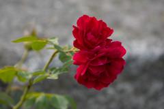 Red roses (Valentín Sánchez Tiemblo) Tags: rosas flowers flores rose natur naturaleza