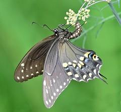 Upside down (dina j) Tags: butterfly swallowtail atlanta atlantabotanicalgardens botanicalgardens nature outdoors plant flower