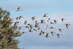 Black-tailed Godwits on the wing (Steve (Hooky) Waddingham) Tags: stevenwaddinghamphotography bird british wild wildlife countryside coast nature northumberland wader flight