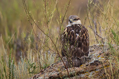 Juvenile Ferruginous Hawk (jimmy.stewart40) Tags: wildlife hawk bird feathers beak eye young large rock nature naturephotograph outdoors inthewild meadow forest weeds