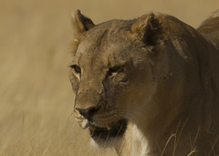 Lioness Etosha Namibia E48G5508 (susan yeomans) Tags: namibia namibiaetosha etosha etoshanationalpark africa wildlife cat feline lion lioness