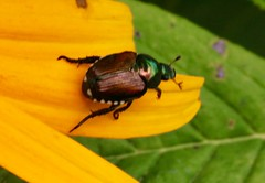 Diversity in the garden (REGOR NOTPUL) Tags: garden insects spiders arachnids flies butterfly scarab japanese beetle common ringlet tarnished plant bug