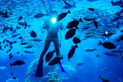 Diver in Sagami Bay big tank in Enoshima Aquarium, Fujisawa : 相模湾大水槽にて(新江ノ島水族館)