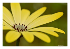 Petals of yellow (Graham Pym On/Off) Tags: nikonflickraward nikon petals flora yellow sunny nature coth coth5