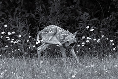 Allergic To Daisies? (Jenna.Lynn.Photography) Tags: bnw bw blackandwhite spots fawn babyanimal baby animal grass country daisies daisy flowers backdrop itchy nose hoof eye deer wildlife wild wildlifephoto wildlifeanimal wildlifephotographer wildlifephotography natur nature allergies naturephotography naturephoto potd contrast macromonday macromondays macro canon zoomlens backyard eos pet natural symmetry blur dof candid pose