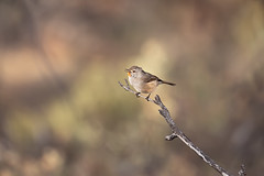 376A8057 (bon97900) Tags: 2018 redbankscp birds burra midnorth red redthroart redthroatmale southaustralia