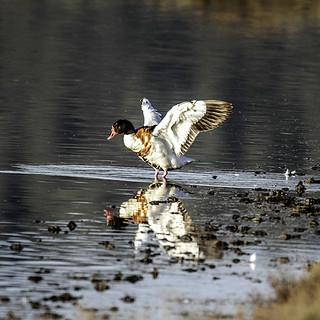 Pato aleteando