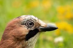 Jay (herodtheswiss) Tags: forestfarm bird britishbirds britishwildlife jay ukbirds ukwildlife