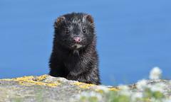 Mink (KHR Images) Tags: mink americanmink neovisionvision wild carniverous mammal nonnative wildlife nature craignure isleofmull innerhebrides scotland nikon d500 kevinrobson khrimages