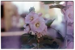 Flores (Spock (Luis)) Tags: 5minutos canonpellix kodakvision2 200t ecn2 ra4 homedeveloped flores flowers kodakmotionfilm minoltascan macro flower plant